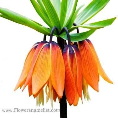 Crown Imperial Funky Orange