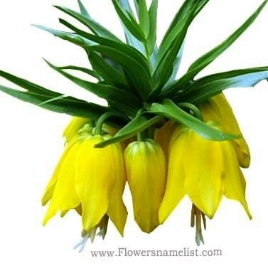 Crown Imperial Lutea Fritillaria