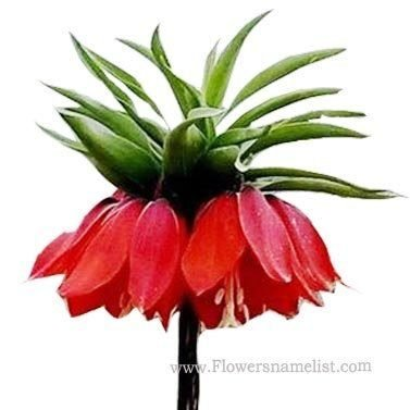 Crown Imperial red