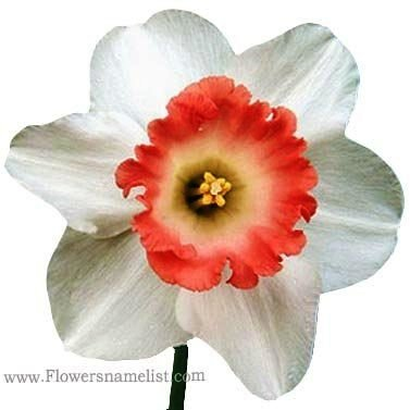 Daffodil Narcissus Pink Charm
