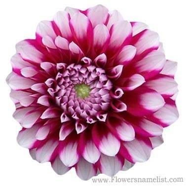 Dahlia pink and white Aitara Diadem