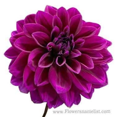 Dahlia purple Thomas Edison