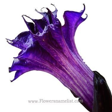 Datura Triple Purple