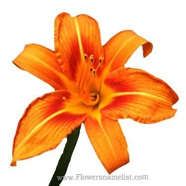 Daylily Orange bloom