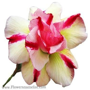 Desert Rose Adenium hybrid (double flower)