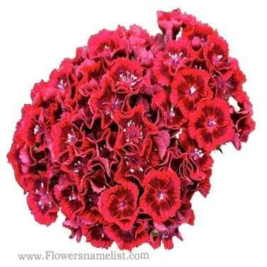 Dianthus barbatus 'Barbarini Red Rose Bicolor'