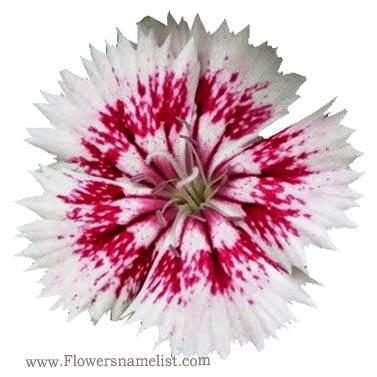 Dianthus chinensis Clavelina
