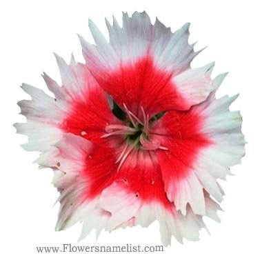Dianthus chinensis red and white