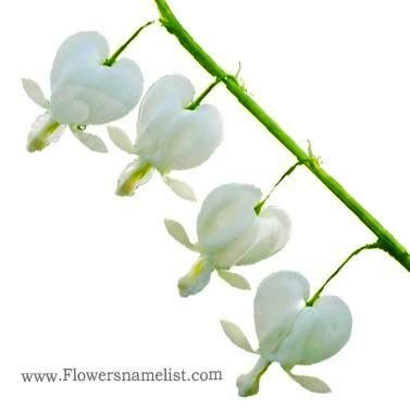 Dicentra Bleeding Hearts white