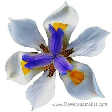 Dietes grandiflora Fortnight Lily