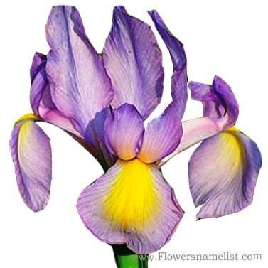Dutch Iris 'Rosario'