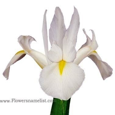 Dutch Iris White Bridge