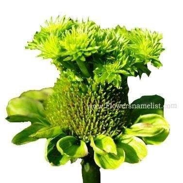 Echinacea aster yellows