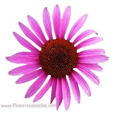 Echinacea purpurea 'Rubinstern
