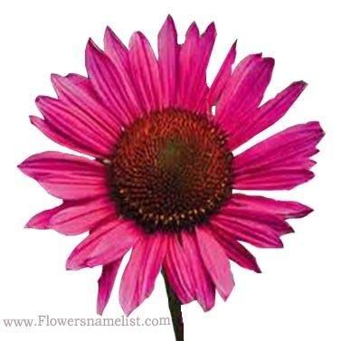 Echinacea purpurea vintage wine