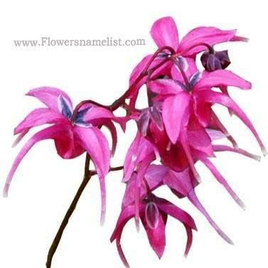 Epimedium grandiflorum Red Beauty