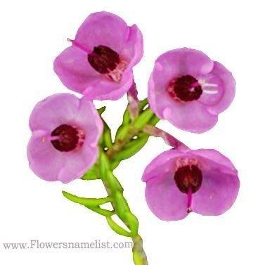 Erica margaritacea pink