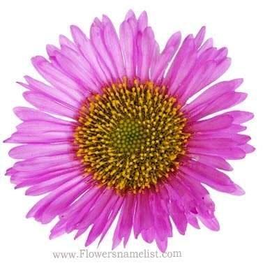 Erigeron Pink Flower