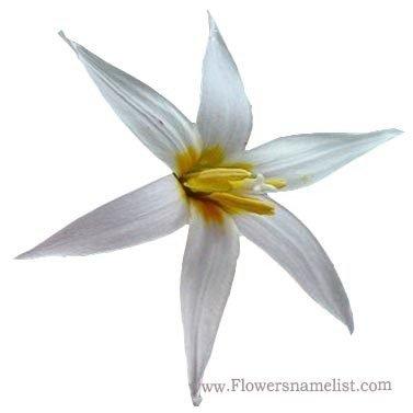 Erythronium albidum flower