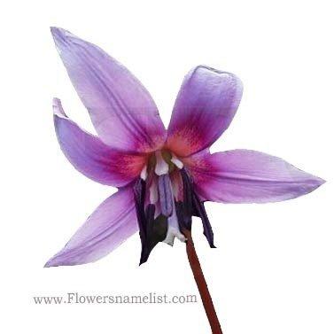 Erythronium dens canis purple king
