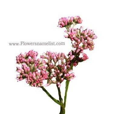 Eupatorium fortunei 'Pink Frost