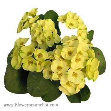 Euphorbia milii name King of yellow dream
