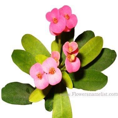 Euphorbia milii pink