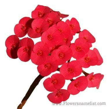 Euphorbia milii red