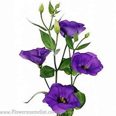 Eustoma russellianum blue
