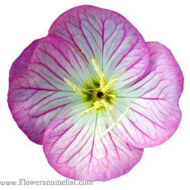 Evening Primrose Pink