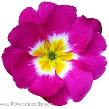 Evening Primrose Purple