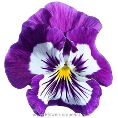 Evening Primrose Violet