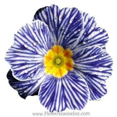 Evening Primrose Zebra Blue