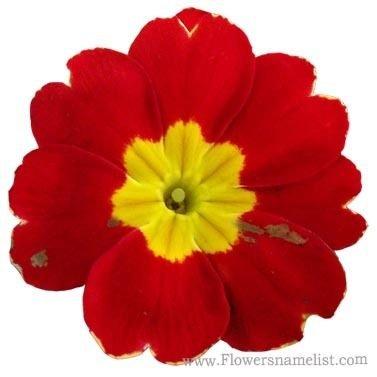 Evening Primrose red