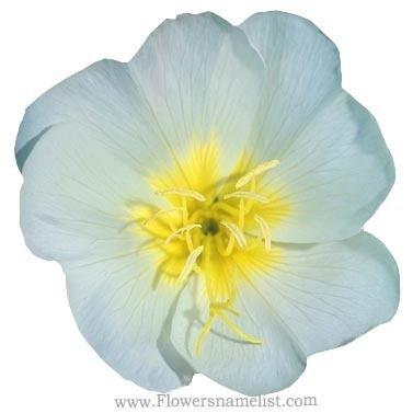 Evening Primrose white