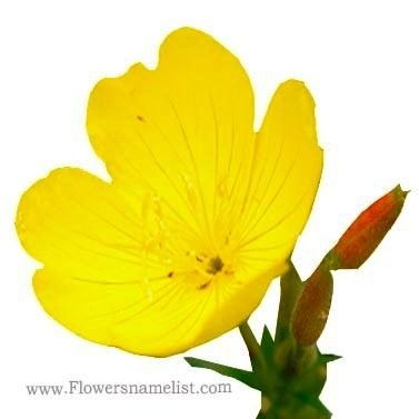 Evening Primrose yellow