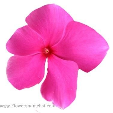 Evergreen Catharanthus Roseus Purple