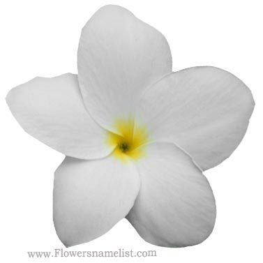 Evergreen plumeria flower