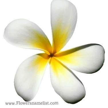 Evergreen plumeria white flower