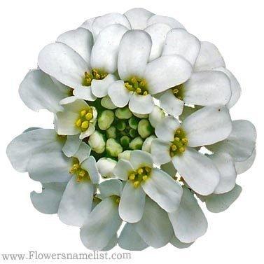 Evergreen primrose Iberis sempervirens