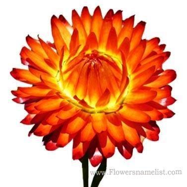 Everlasting daisy wallaby orange red xerochrysum