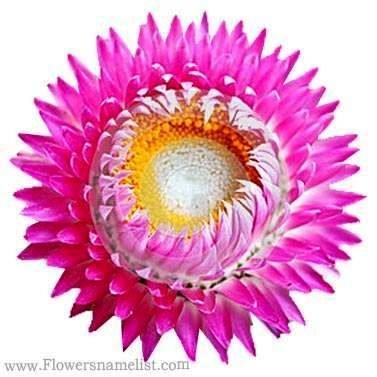 Everlasting flower pink