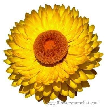 Everlasting flower yellow