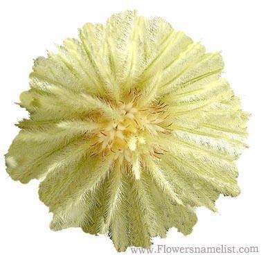 Flannel Bush Phylica plumosa