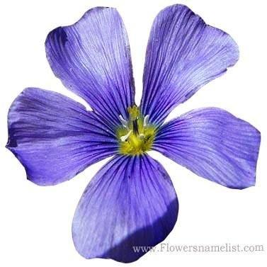 Flax Blue, Prairie Flax, Lewis Flax