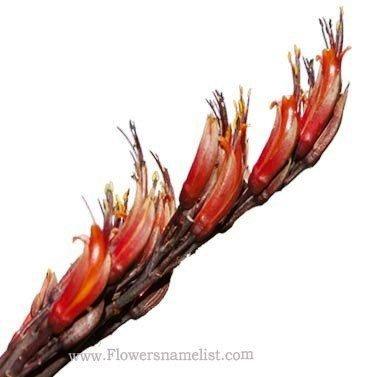 Flax Harakeke flowers