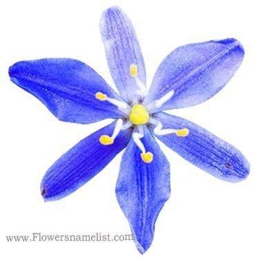 Flax Lily Blue (Dianella caerulea)
