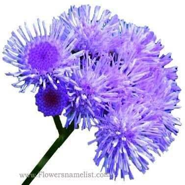 Floss Ageratum houstonianum flower