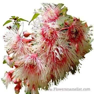 Floss Corymbia ficifolia Fairy