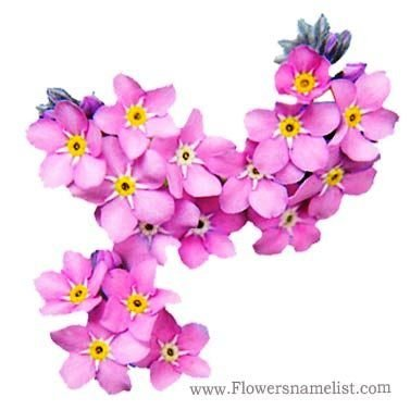 Forget Me Not, pink Flowers